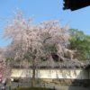 醍醐寺① 京都で人気のお花見スポット