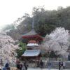 天野山金剛寺③ 満開の桜と国宝金堂三尊像【御朱印】