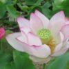 喜光寺 蓮の花を巡るロータスロードと特別ご朱印