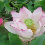 喜光寺② 蓮の花を巡るロータスロードと特別ご朱印